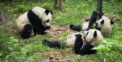 Giant Panda Channel 'giant Panda Channel' to Hit